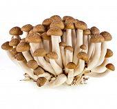 Shimeji mushroom isolated on white