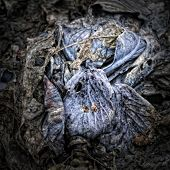 Rotting red Cabbage on the Garden Ground