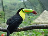 picture of caw  - Colorful toucan resting on a branch in a bird aviary on Costa Rica.
