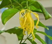 Cananga Odorata Blossom