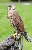 Captive Kestrel