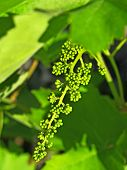 Young Green Grape Cluster.