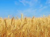 Ripe Yellow Wheat Ears On Field.