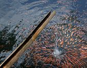 Tilapia Fish Under Water Fall