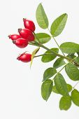 pic of dog-rose  - Rose hips with leaves - JPG