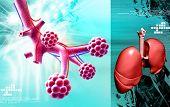 Alveoli  and human