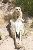 Meerkat On A Skull
