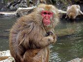 Japanese Macaque Monkeys