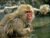 Macaque Monkeys In Hot Spa
