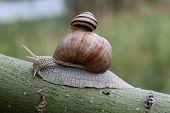 Two Snails On Leaf. (helix Pomatia And Cepaea Vindobonensis)