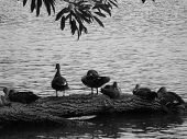 Ducks Resting on Fallen Branch