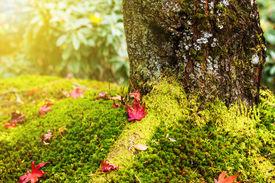 stock photo of irish moss  - Maple leaves on moss - JPG