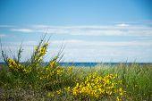 bush of yellow spring flowers towards the sea