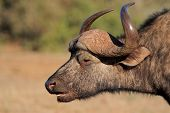 Portrait of an African or Cape buffalo (Syncerus caffer), Addo National park, South Africa