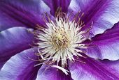 Macro Photo Of Clematis Nelly Moser Flower