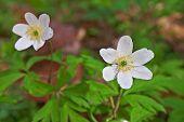 Anemone Wood