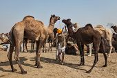 PUSHKAR, INDIA - NOVEMBER 20, 2012: Indian men and camels at Pushkar camel fair (Pushkar Mela) -  an