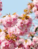 Soft pink Japanese cherry-tree blossom. Sakura. Prunus serrulata