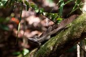 Jesus Christ Lizard Sitting On A Branch