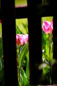 Tulips Visible From Behind The Wooden Fence Boards.