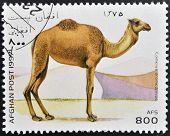 AFGHANISTAN - CIRCA 1997: A stamp printed in Afghanistan shows camel camelus dromedarius circa 1997