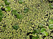 Lily Pads And Duck Weed
