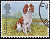 A Stamp printed in Great Britain shows a Welsh Springer Spaniel