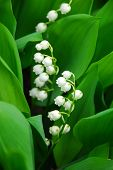 Lily Of The Valley Closeup