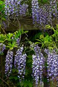 Flowering Wisteria Vertical Image