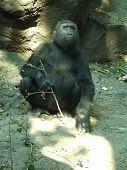 Gorilla Female