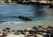image of sea lion  - Sea lions lounge on the beach in La Jolla Cove - JPG