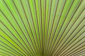 Closeup With Texture Of Palm Leaf.