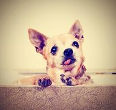 a cute chihuahua on an isolated background studio shot done with a retro vintage instagram filter