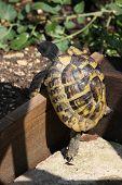 Hermans Tortoise