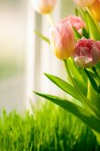 fresh pink tulips standing on windowsill