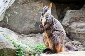 image of wallaby  - A rock wallaby sits on a rock observing its surroundings in Victoria - JPG