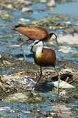 Two African Jacanas Searching For Food On Floating Refuse And Sewage