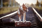 Постер, плакат: English Bull Terrier On Rails With Suitcases