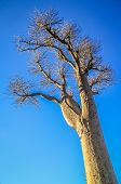 pic of baobab  - One of the huge baobabs in the Avenida de Baobab in Madagascar - JPG