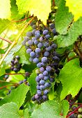 Branch Of Grape Cluster