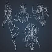 Irises on graphic style