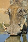 Warthog - African Wildlife Background - Sip of Cool Life