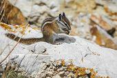 Wild Chipmunk Feeding