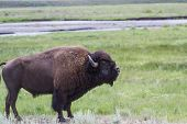 Large Male Bison