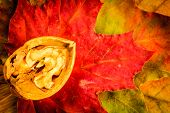 Walnut On Colorful Autumn Leaves.