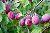 Plums On Tree Branch