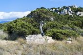 picture of juniper-tree  - photo of the mediterranean bush and juniper tree - JPG