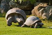 foto of darwin  - Bigger tortoise following cub of tortoise on grass - JPG