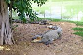 Asia Crocodile