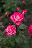 Bush Of Red White Roses